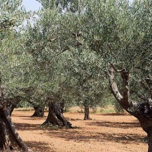 Etrurio Olive Oils